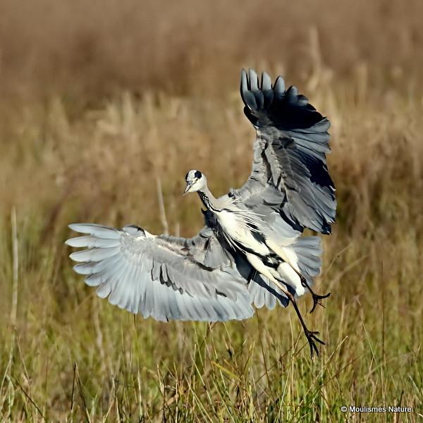 Grey Heron (Ardea cinerea) Ad, Héron cendré