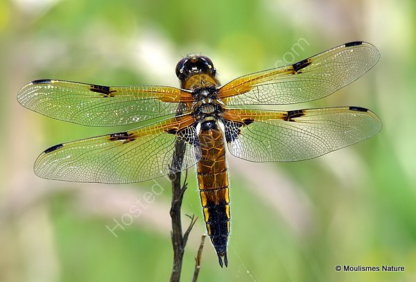 Four-spotted Chaser (Libellula quadrimaculata) F
