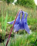 Aquilegia vulgaris, Columbine