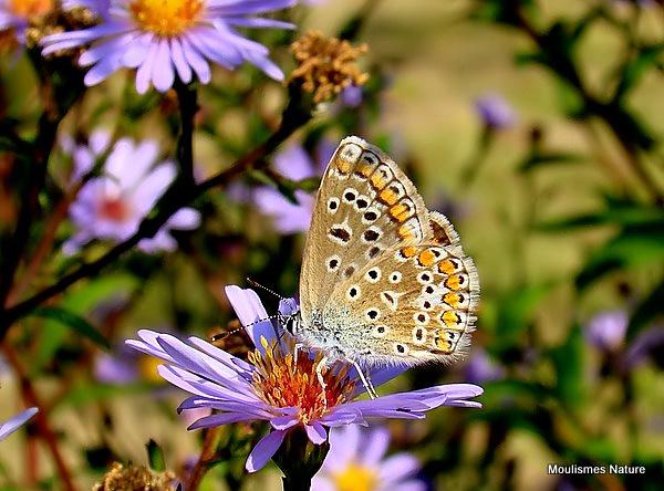 Common Blue (Polyommatus icarus) F