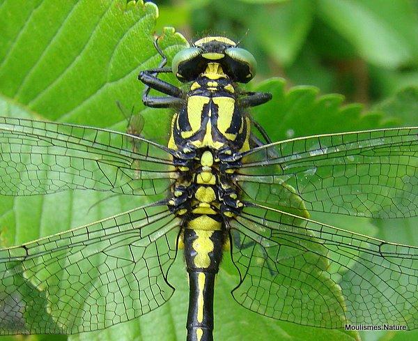 Club-tailed Dragonfly (Gomphus vulgatissimus) M-Imm