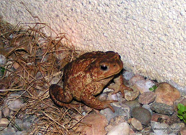Common Toad (Bufo bufo), Crapaud commun