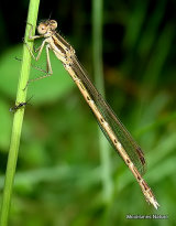 Winter Damselfly (Sympecma fusca) F