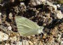 Small White (Pieris rapae), La Piéride de la rave