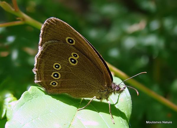 Ringlet (Aphantopus hyperantus) F, Le Tristan