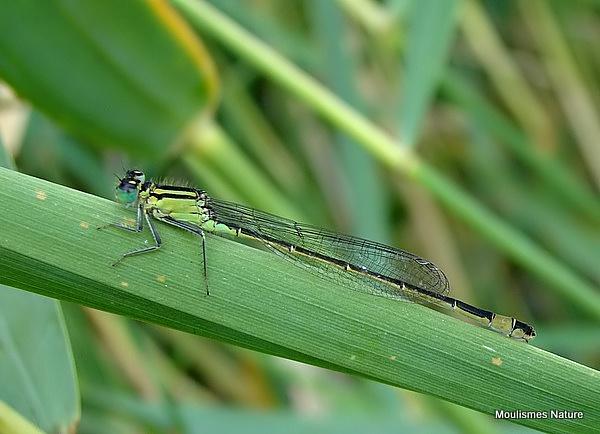 Blue-tailed Damselfly (Ischnura elegans) F 'infuscans'</em>