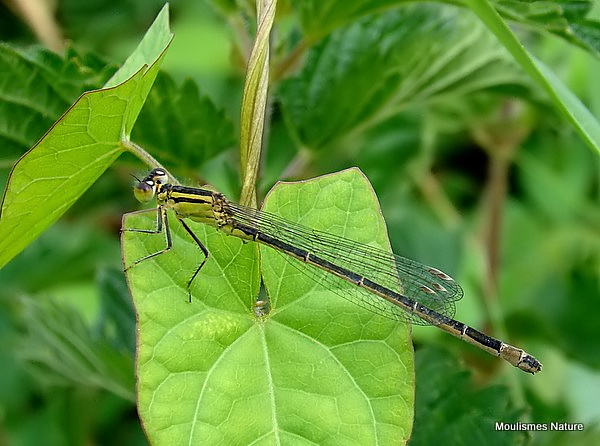 Blue-tailed Damselfly (Ischnura elegans) F 'infuscans'