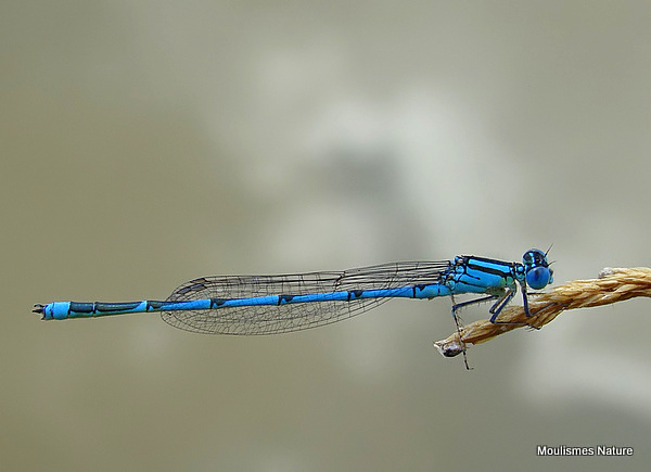 Goblet-marked Damselfly (Erythromma lindenii) M