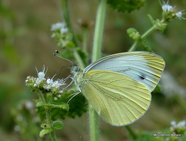Green-veined White (Pieris napi) summer brood