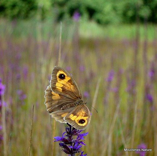 Meadow Brown (Maniola jurtina) F