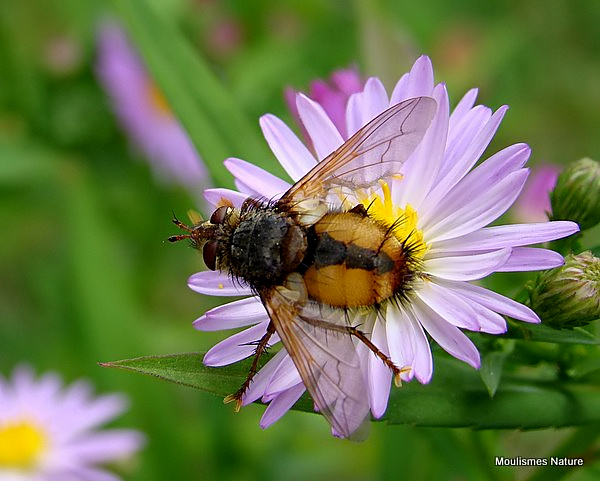 Tachinid fly sp. Tachina fera