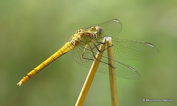 Southern Darter (Sympetrum meridionale) F
