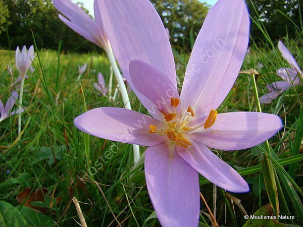 Colchicum autumnale, Meadow Saffron