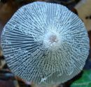 coprinus cinereus