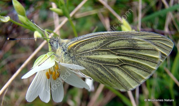 Green-veined White (Pieris napi), La Pieride du navet, 1st brood