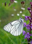 Black-veined White (Aporia crataegi)