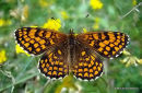Heath Fritillary (Mellicta athalia), La Melitee du melampyre