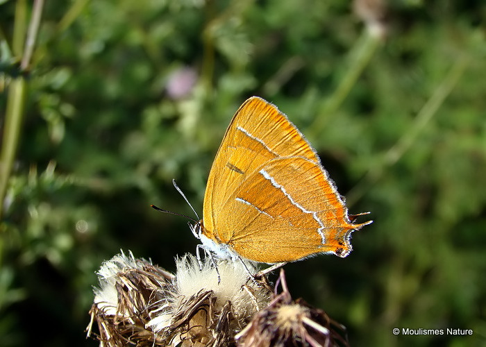 Brown Hairstreak (Thecla betulae) F, La Thécla du bouleau