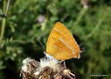 Brown Hairstreak (Thecla betulae) F, La Thécla du bouleau