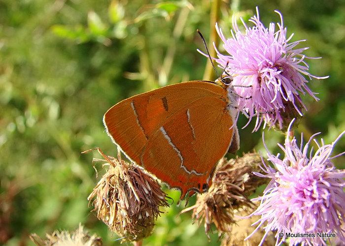 Brown Hairstreak (Thecla betulae) F