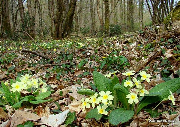 Primula vulgaris, Primrose