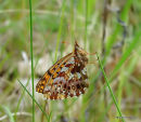 Weaver's Fritillary (Clossinia dia)