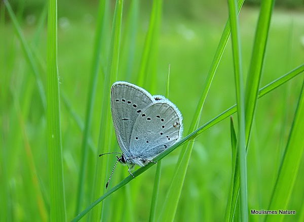 Provencal Short-tailed Blue (Everes alcetas) M