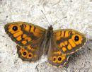 Wall Brown (Lasiommata megera) M, La Megere