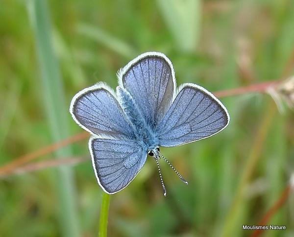 Mazarine Blue (Cyaniris semiargus) M, Le Demi-Argus
