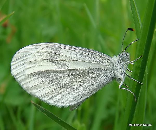 Wood White (Leptidea sinapis) F