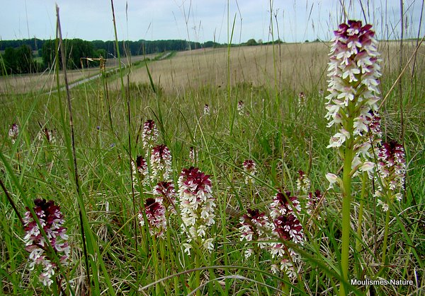 Burnt Orchids (Orchis ustulata)
