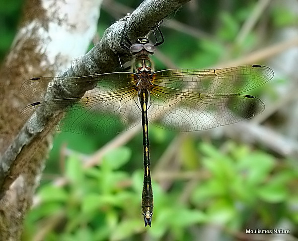 Orange-spotted Emerald (Oxygastra curtisii) M