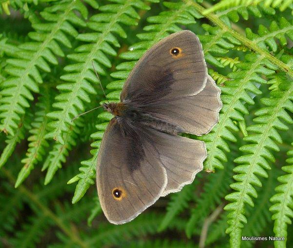 Meadow Brown (Maniola jurtina) M