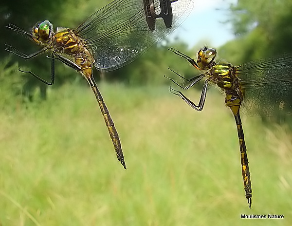 Yellow-spotted Emeralds (Somatochlora flavomaculata) M