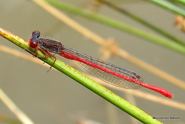Small Red Damselfly (Ceriagrion tenellum) M, Agrion delicat