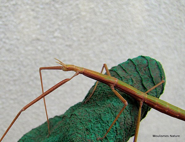 French Stick Insect (Clonopsis gallica)