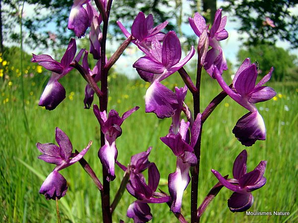 Loose-flowered Orchid (Orchis laxiflora)