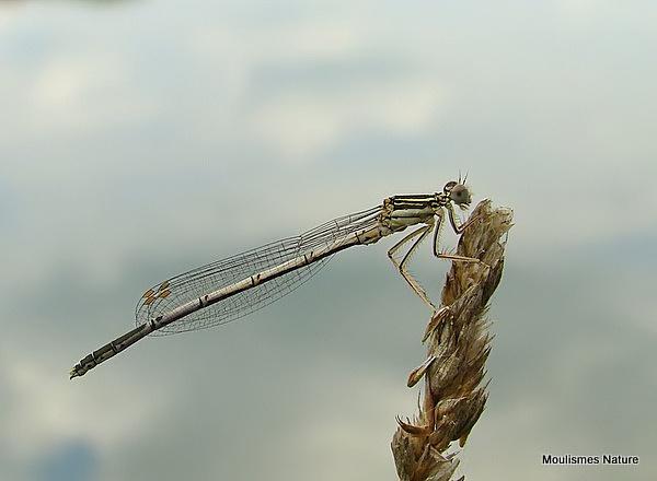 White-legged Damselfly (Platycnemis pennipes) M-Imm