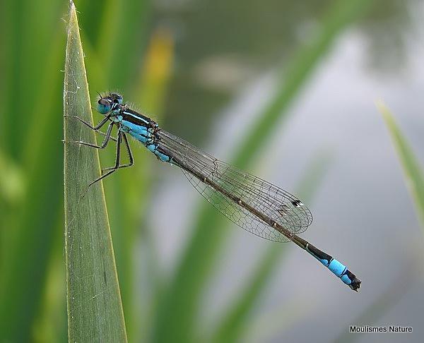 Blue-tailed Damselfly (Ischnura elegans) M, Agrion elegant