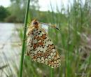 Knapweed Fritillary (Melitaea phoebe)