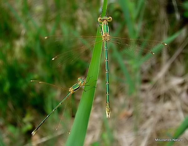 Southern Emerald (Lestes barbarus) M+F