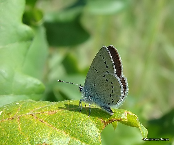 Little Blue (Cupido minimus), L'Argus frele