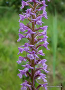 Fragrant Orchid (Gymnadenia canopsea)