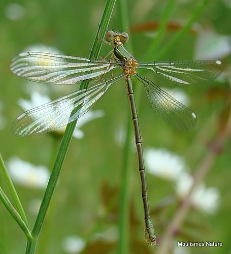 Willow Emerald (Lestes viridis) F-ten