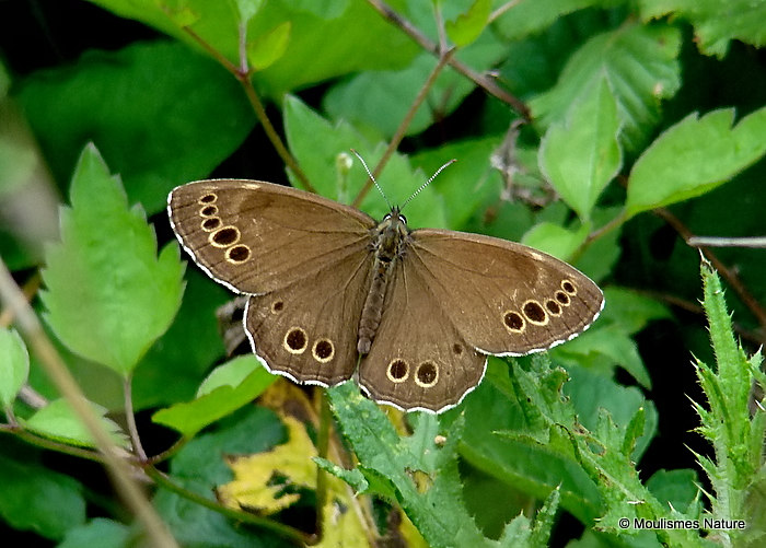 Woodland Brown (Lopinga achine), La Bacchante