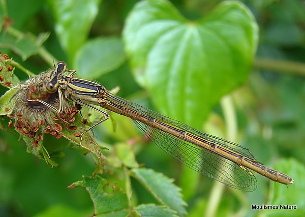 Orange White-legged Damselfly (Platycnemis acutipennis) F