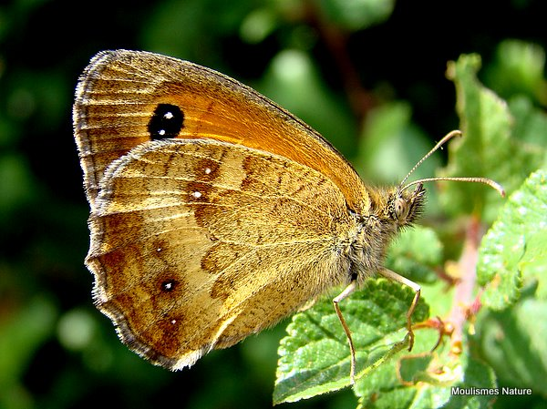 Gatekeeper (Pyronia tithonus) M