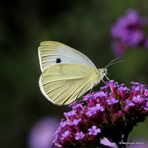 Small White (Pieris rapae)