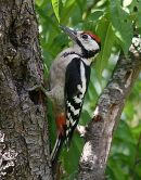 Great Spotted Woodpecker (Dendrocopos major) M-Juv