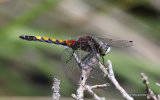 Large White-faced Darter (Leucorrhinia pectoralis) M-Imm